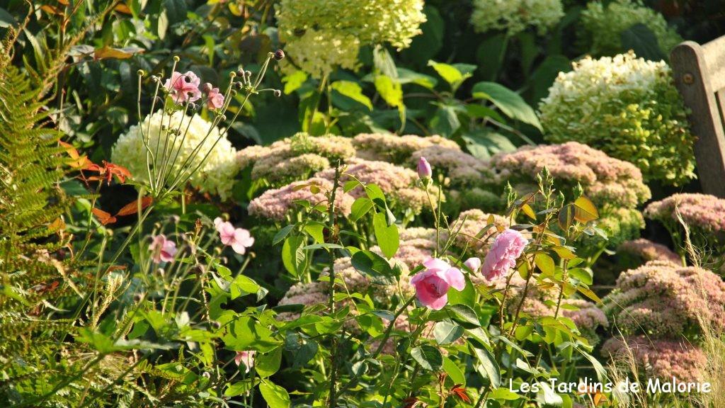 sedum en massif, avec des anémones d'automne et un hydrangea arborescens