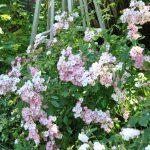 ❤ Focus sur le rosier moschata 'Ballerina': un must!