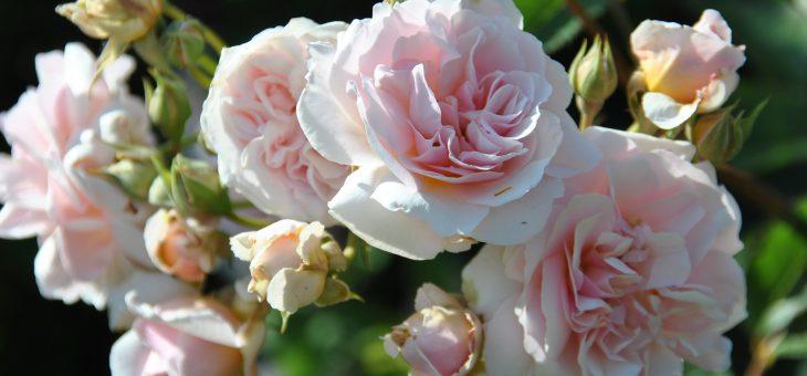❤  Focus sur le rosier 'Félicia'