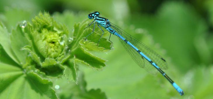 L'agrion jouvencelle, une fine demoiselle bleue