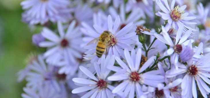 Comment multiplier les asters?