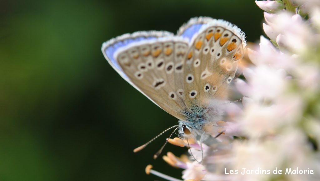 papillon Argus bleuouAzuré commun(Polyommatus icarus)