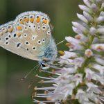 🦋 Papillon: Argus bleu ou Azuré commun