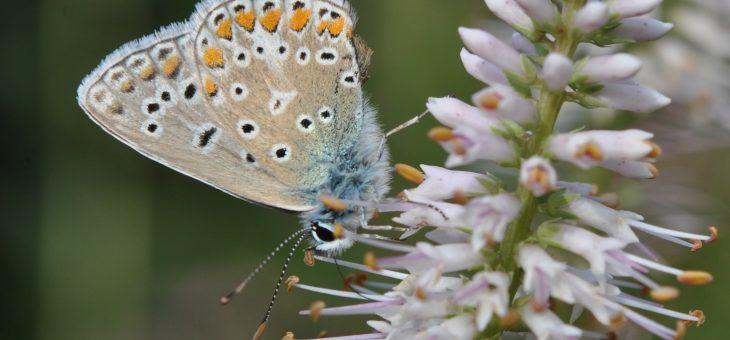Papillon: Argus bleu ou Azuré commun