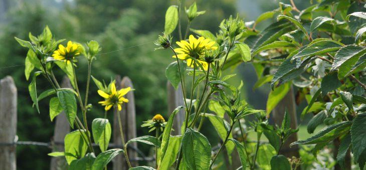 Helianthus, soleil de fin d'été