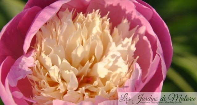 Pivoine 'Bowl of Beauty'