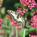 papillon: le machaon ou porte-queue