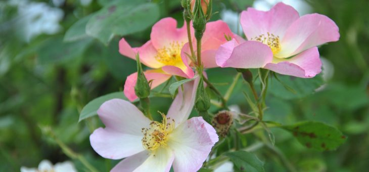 ❤ ❤ rosa 'The Alexandra rose', le charme au naturel!