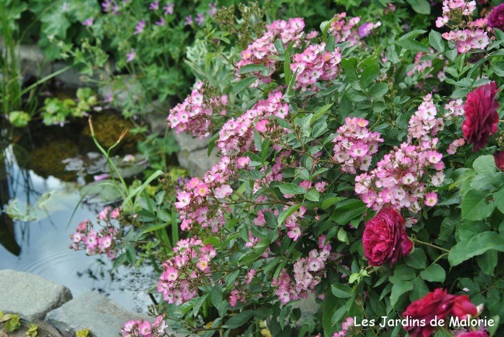 les rosiers moschata de fabuleux rosiers les jardins de malorie. Black Bedroom Furniture Sets. Home Design Ideas