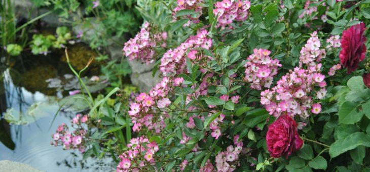 Les rosiers Moschata, de fabuleux rosiers!