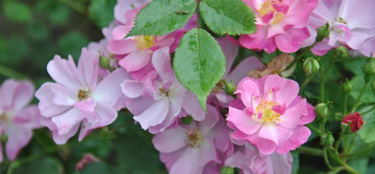 Rosier 'Lavender Dream'