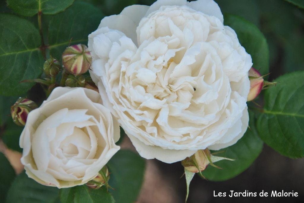 rosa 'William et Catherine'