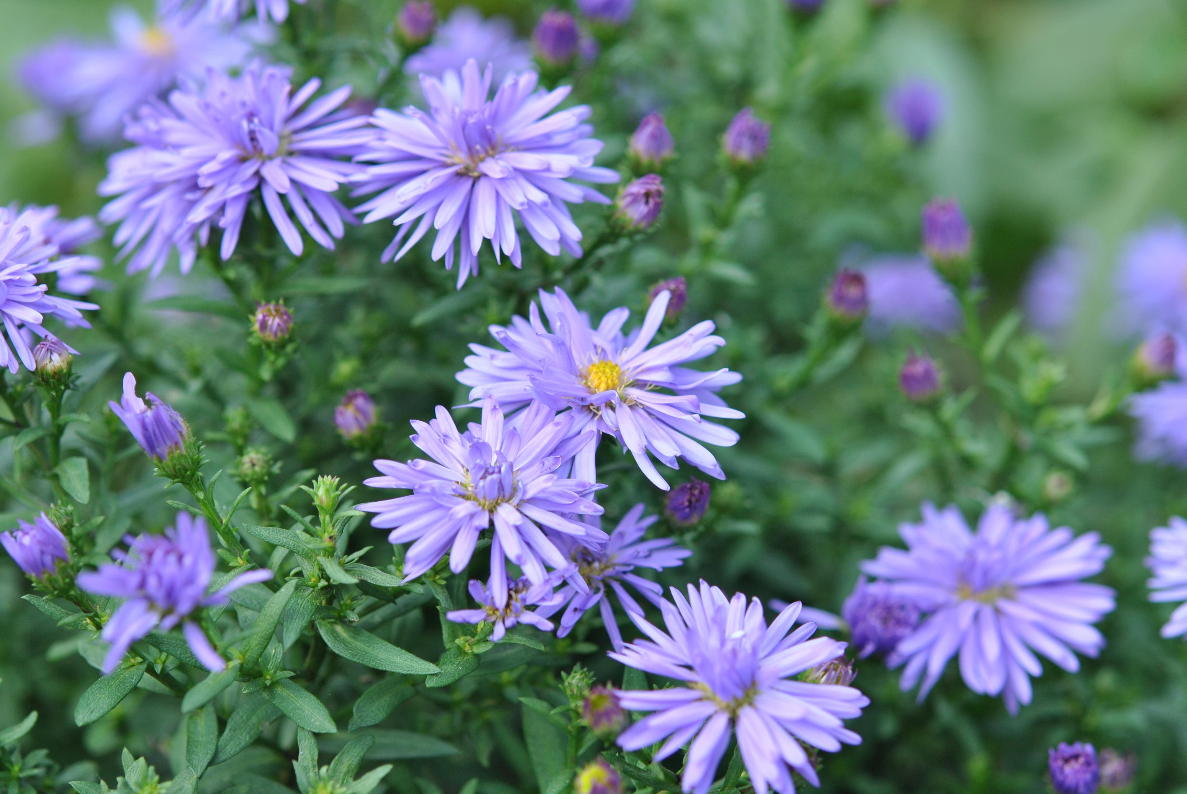 Faut Il Couper Les Lys Après Floraison les asters, les rois de l'automne! - les jardins de malorie