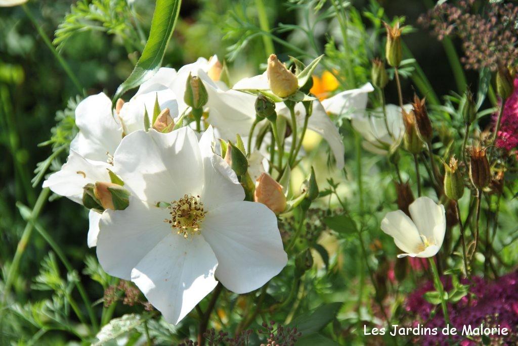 rosa 'Sally Holmes'