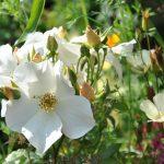 ❤  Focus sur le rosier 'Sally Holmes'
