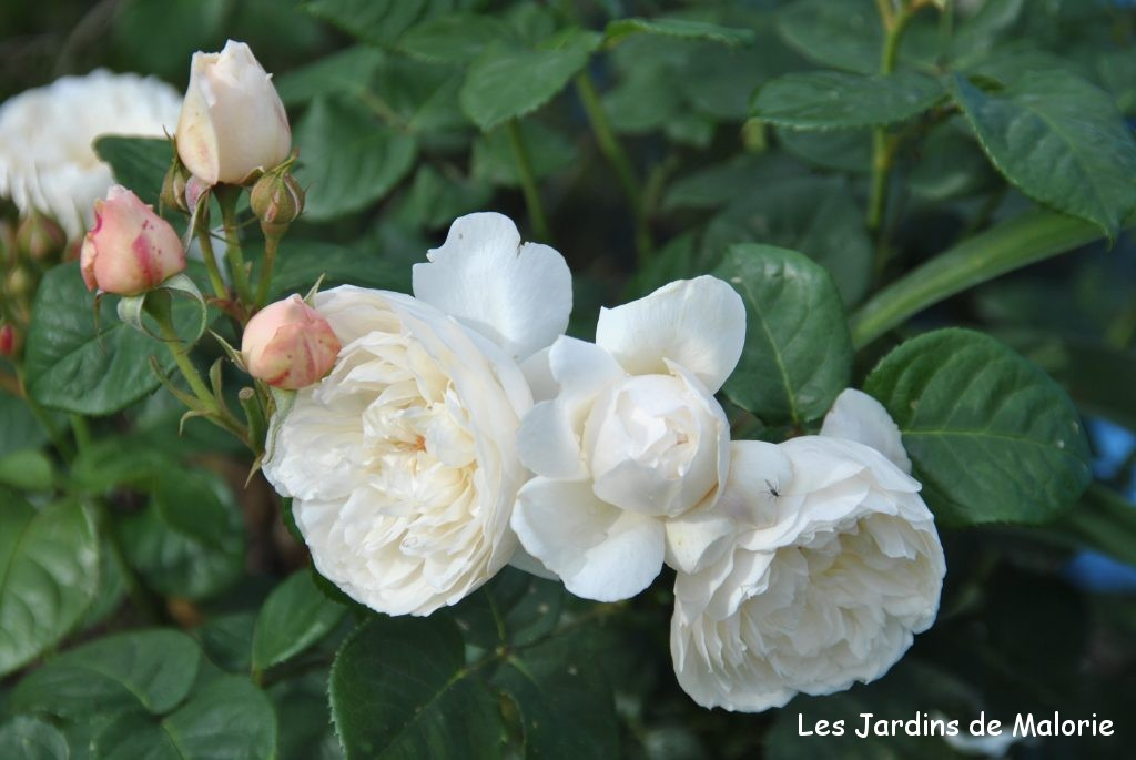 rosa 'William et Catherine',