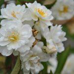 ❤  Focus sur rosa 'Guirlande d'Amour'