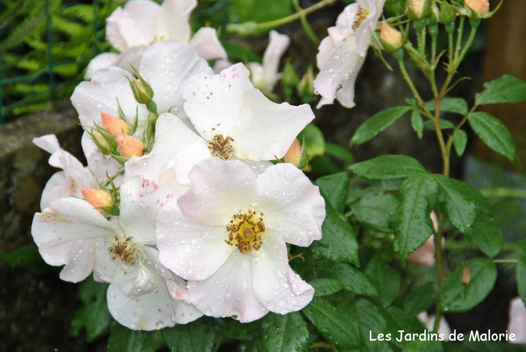 rosier 'Sally Holmes' après la pluie
