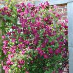 Les clématites viticella: faciles et florifères