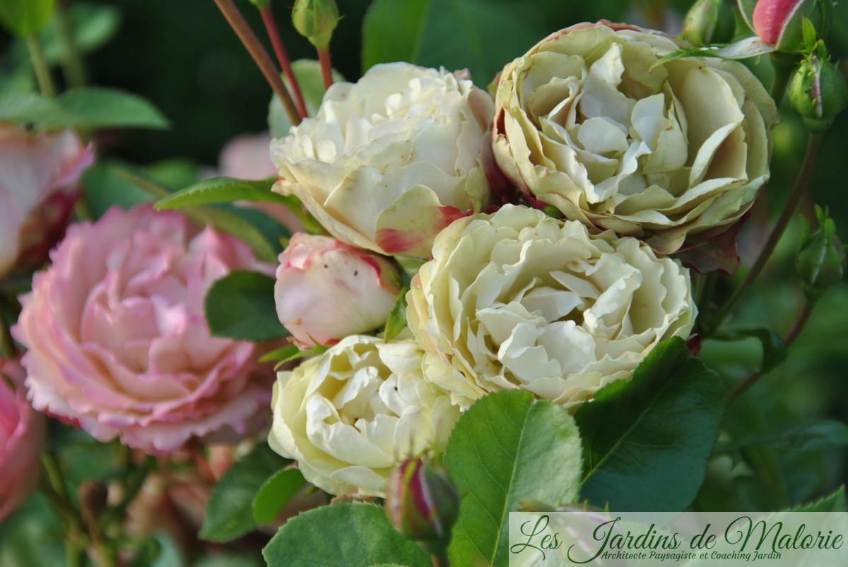 rosa 'Acropolis'
