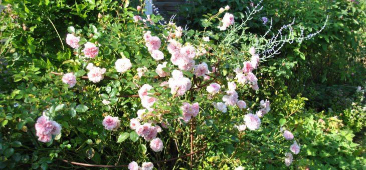 Mon TOP 10 des rosiers à longue et généreuse floraison