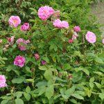 ❤ Focus sur le rosier 'Thérèse Bugnet', un arbuste des 4 saisons