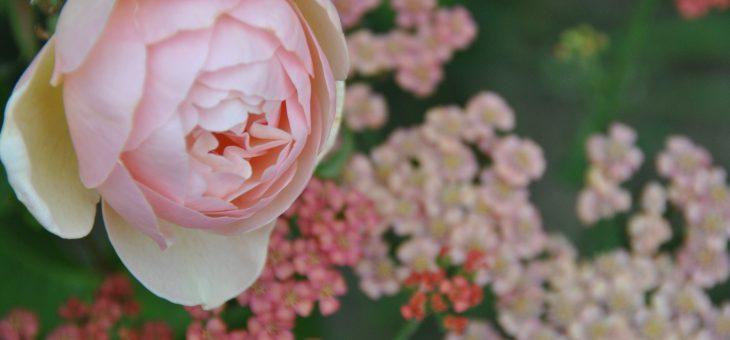 Joli Duo : 'Sweet Juliet' et achillea 'Apricot Delight'.