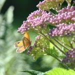🦋 Papillon Amaryllis