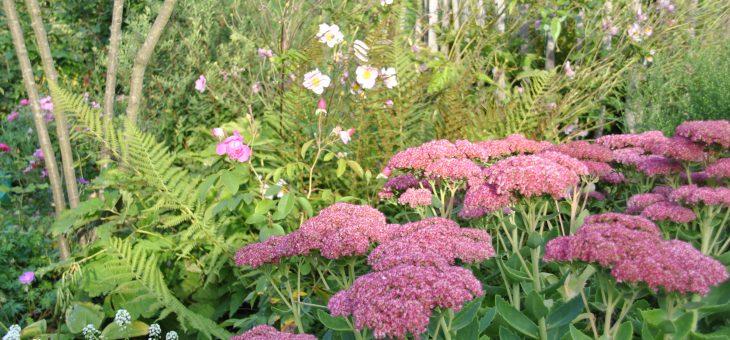Sedum spectabile (orpin des jardins)