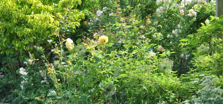 Chroniques de mon jardin: le massif jaune en juin, lumineux et apaisant