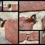 🐝  Les abeilles qui creusent les joints d'un mur en briques...