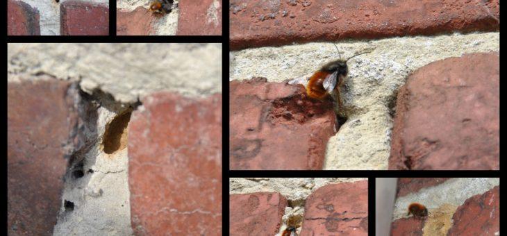 🐝  Les abeilles qui creusent les joints d'un mur en briques…