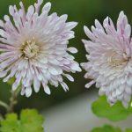 Chrysanthème vivace 'Empereur de Chine'