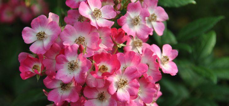 ❤ ❤ ❤ Focus sur le rosier 'Mozart'
