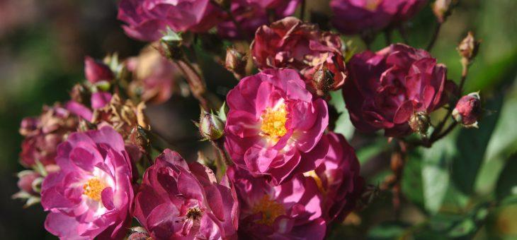 ❤ ❤ ❤ Focus sur 'Sibelius', mon rosier bien-aimé