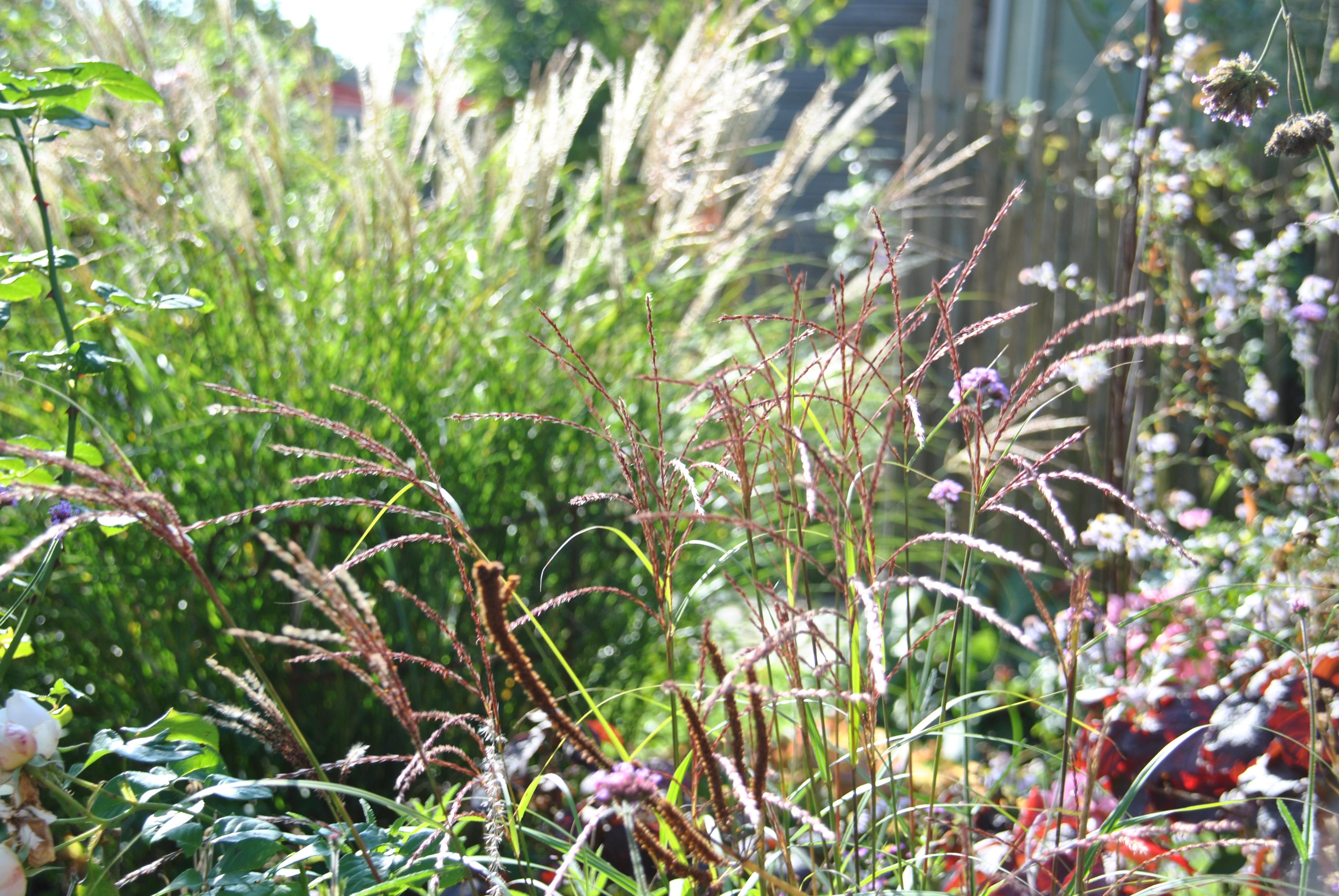 Les Plus Belles Graminées chroniques de mon jardin : les graminées de mon petit jardin