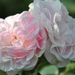 ❤  Focus sur rosa 'Cuisse de Nymphe'