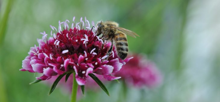 Bzzz… Des fleurs mellifères pour les abeilles…