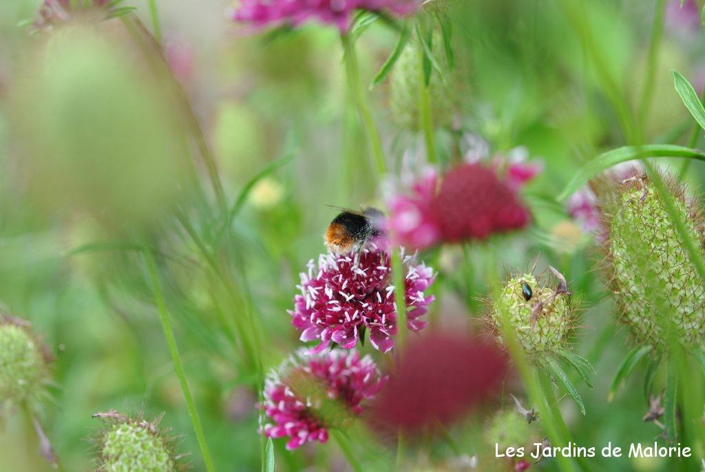 Les scabieuses comme des fleurs des champs les jardins for Commandes fleurs