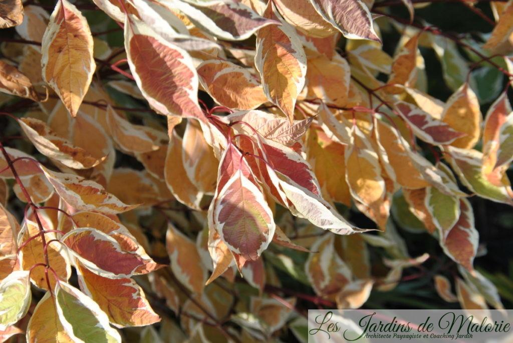 cornus alba 'Elegantissima', en habit d'automne