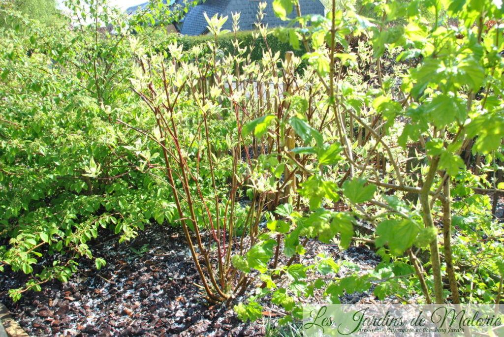 cornouiller à bois rouge (cornus alba 'elegantissima')