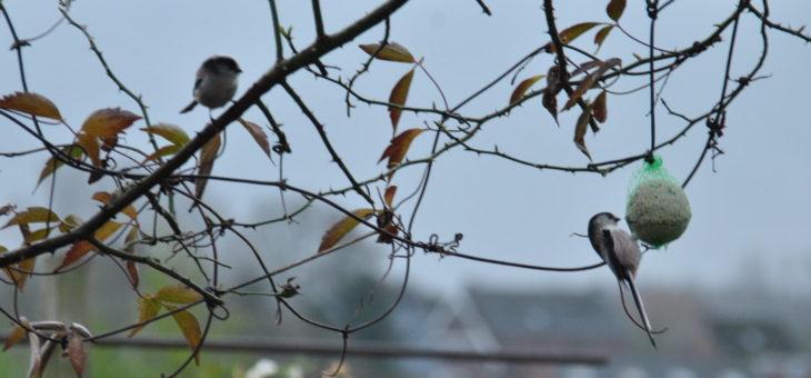 🐦 Oiseaux du jardin : Mésanges à longue queue