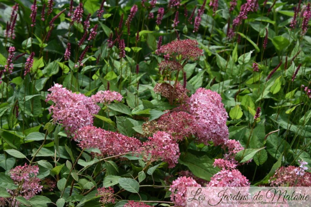 hydrangea arborescens et persicaria
