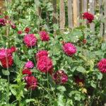 ❤  Focus sur le rosier 'Darcey Bussel'