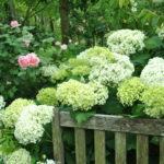 Chéri, j'ai rétréci 'Annabelle' (Hydrangea arborescens)