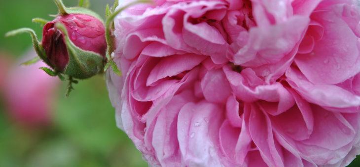 ❤  Focus sur le rosier 'Yolande d'Aragon'