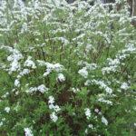 Des petits arbustes à fleurs pour créer une haie libre basse