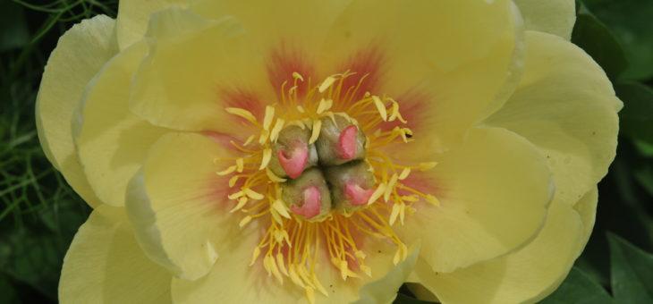 Pivoine Itoh 'Garden Treasure'