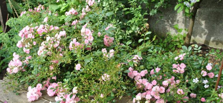 ❤ Focus sur le rosier 'The Fairy', un ravissant classique