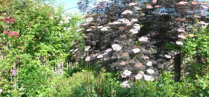🌳 Sambucus nigra 'Black Lace'